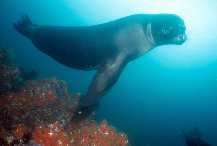 Leone marino Galapagos